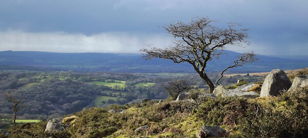 Hawthorn Tree on Dartmoor. Photo by Mark Coleman (CC BY-SA 2.0)